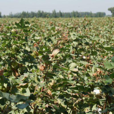 Baumwolle in Fergana